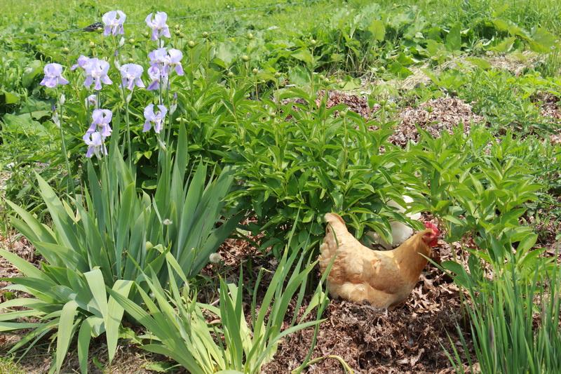 White rose farm chicken in flowersg biodynamic association white rose farm chicken in flowersg mightylinksfo